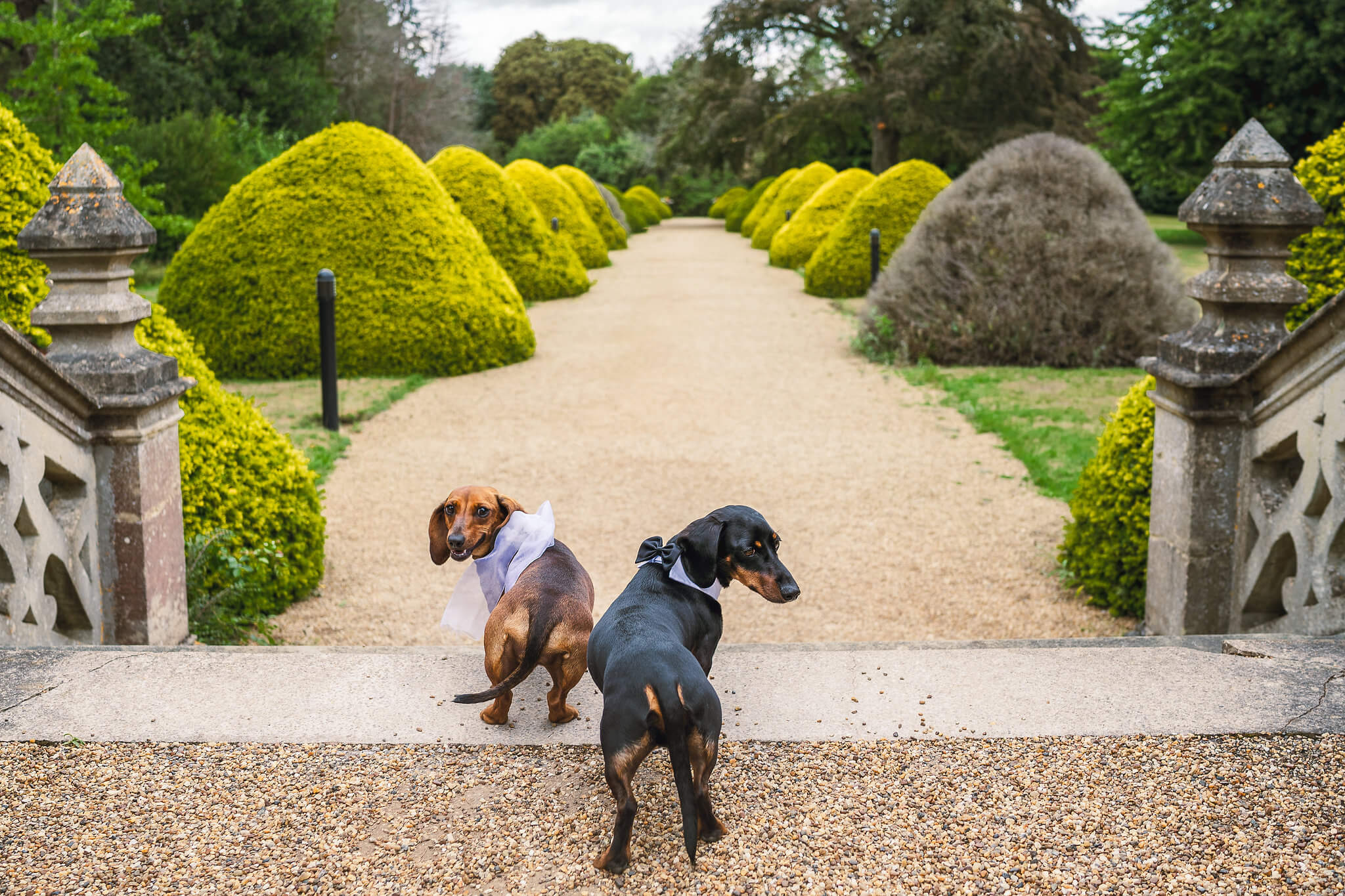 Dogs with the Yew Trees