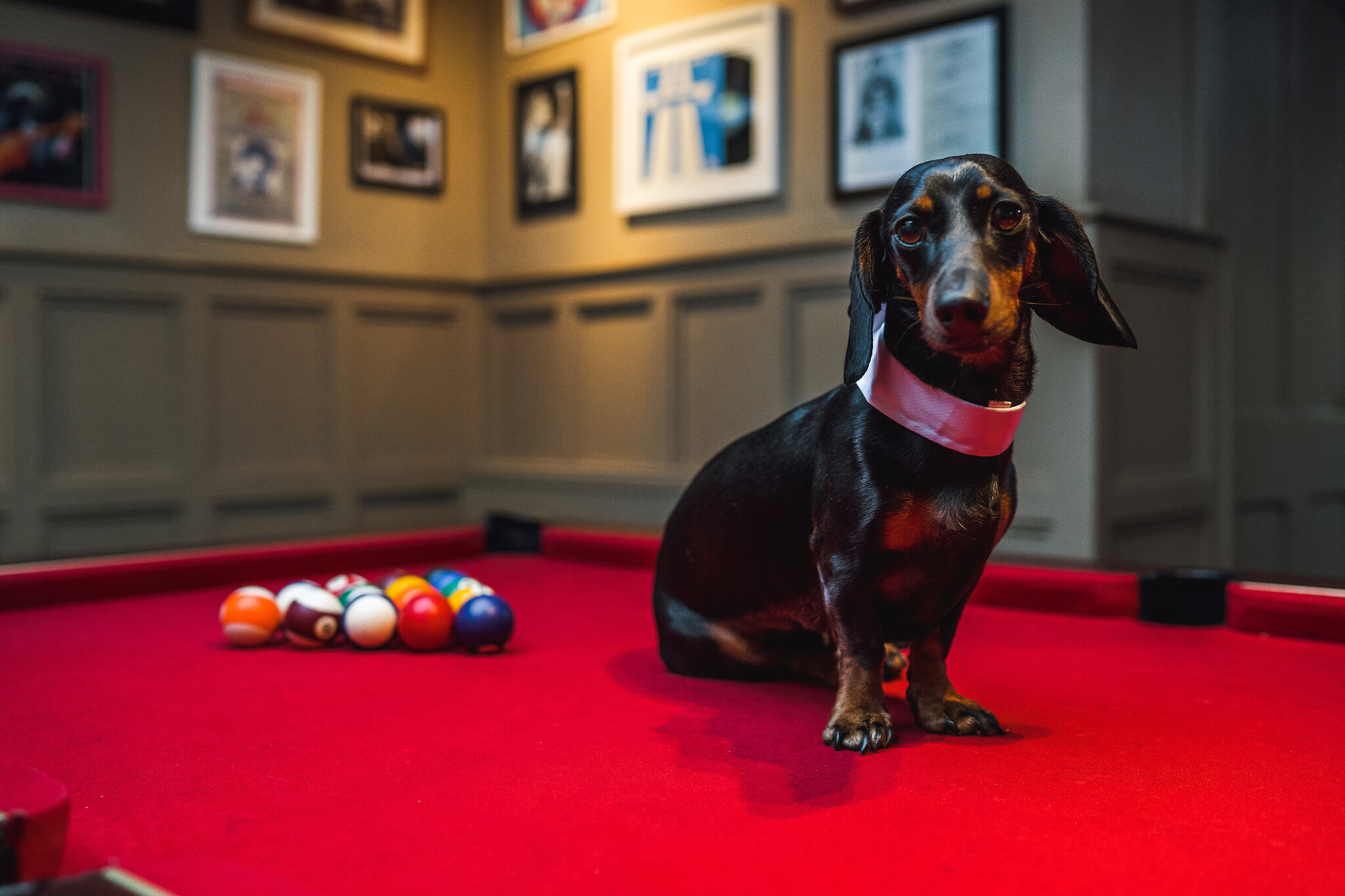 Dog with pool table
